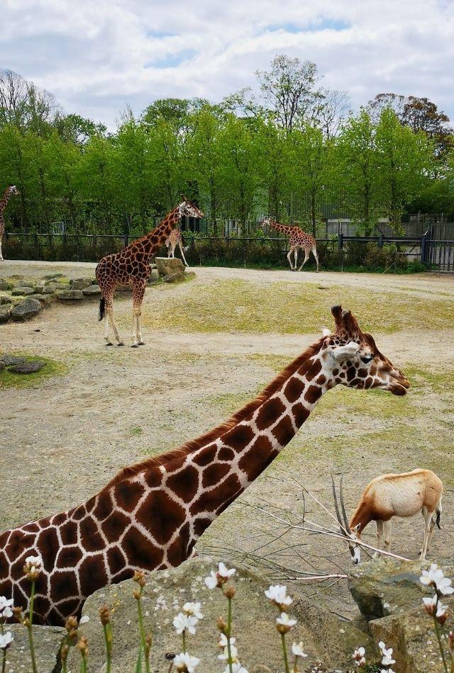 Two giraffes at Dublin Zoo